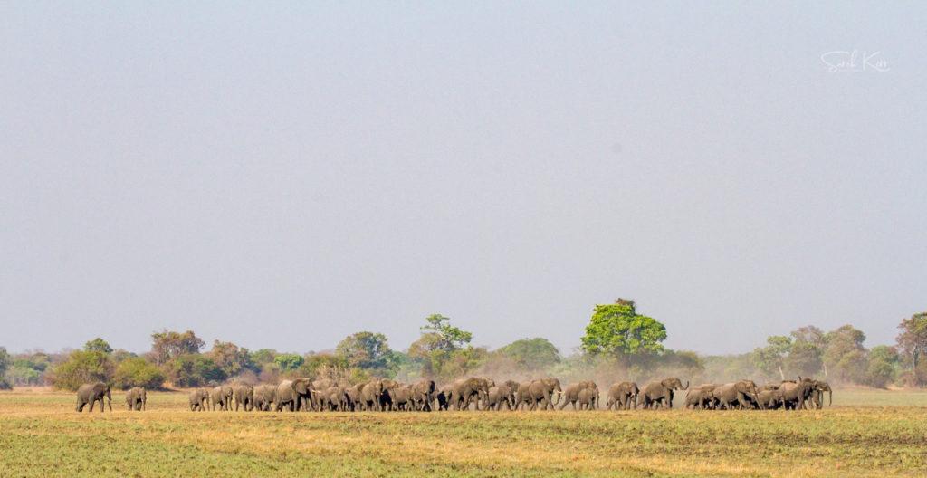 Huge elephant herd Kafue by Sarah Kerr